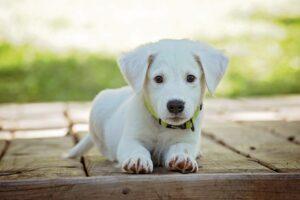 puppy club причини